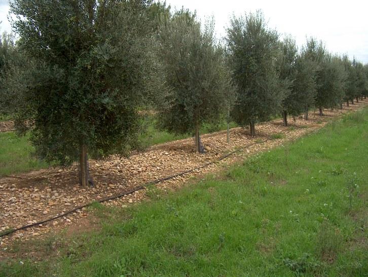 oliveresHPIM0576-3.JPG
